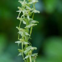 Slender Bog-orchid (Platanthera stricta) flowers