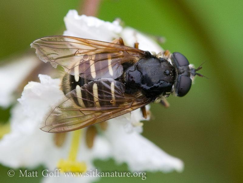 Flower Fly  (Sericomyia chalcopyga)