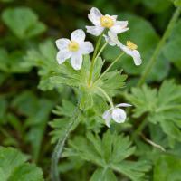 Narcissus Anemone (Anemone narcissiflora)
