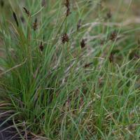 Alpine Black Sedge (Carex nigricans)