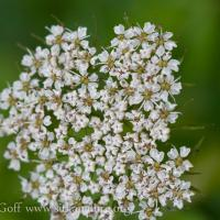 Pacific Hemlock-parsley (Conioselinum gmelinii)