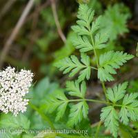 Pacific Hemlock-parsley (Conioselinum gmelinii)