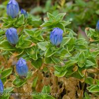 Blooming Broad-petalled Gentian (Gentiana platypetala)