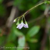 Small-leaved Montia (Montia parvifolia)
