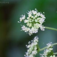 Blooming Kneeling Angelica (Angelica genuflexa)