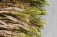 Gymnomitrium obtusum