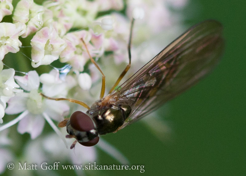 Small Hover Fly