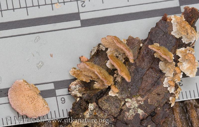 Small Polypore