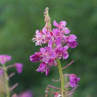 Blooming Fireweed (Chamerion angustifolium)