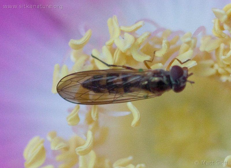 Flower Fly (Melanostoma sp)