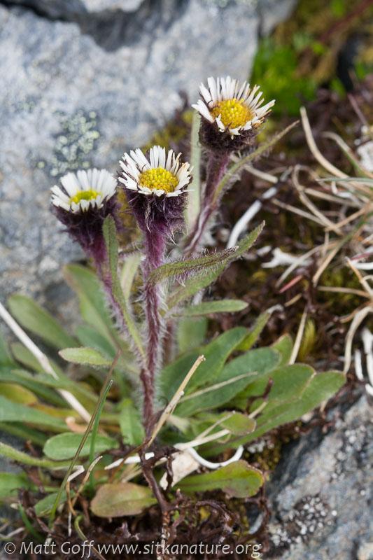 Alpine Fleabane (Erigeron humilis)