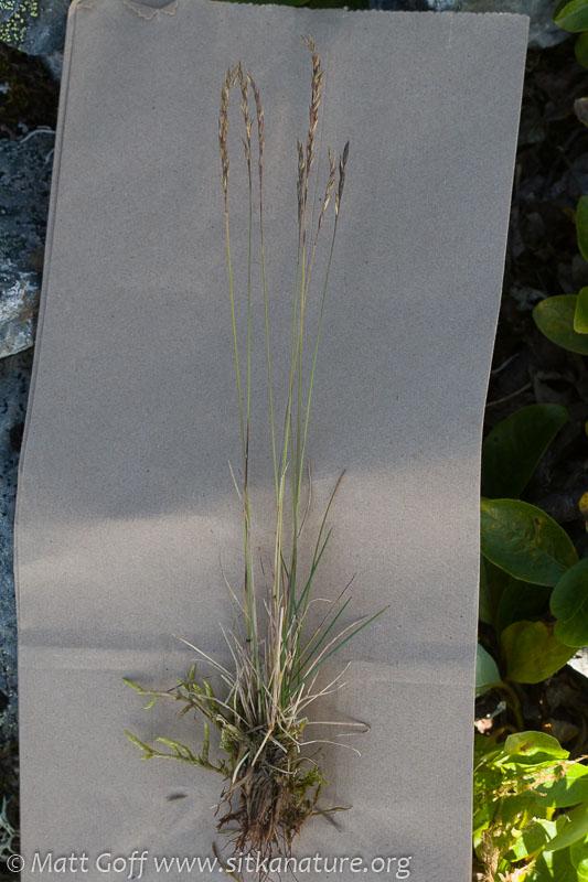Grass (Festuca sp)