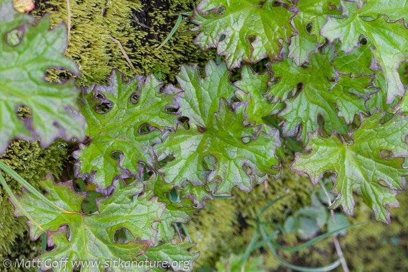 Alpine Sweet Coltsfoot (Petasites frigidus)