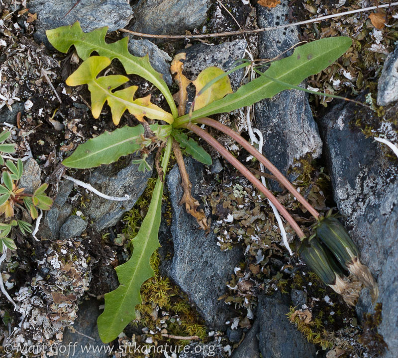 Alaska Dandelion (Taraxacum alaskanum)