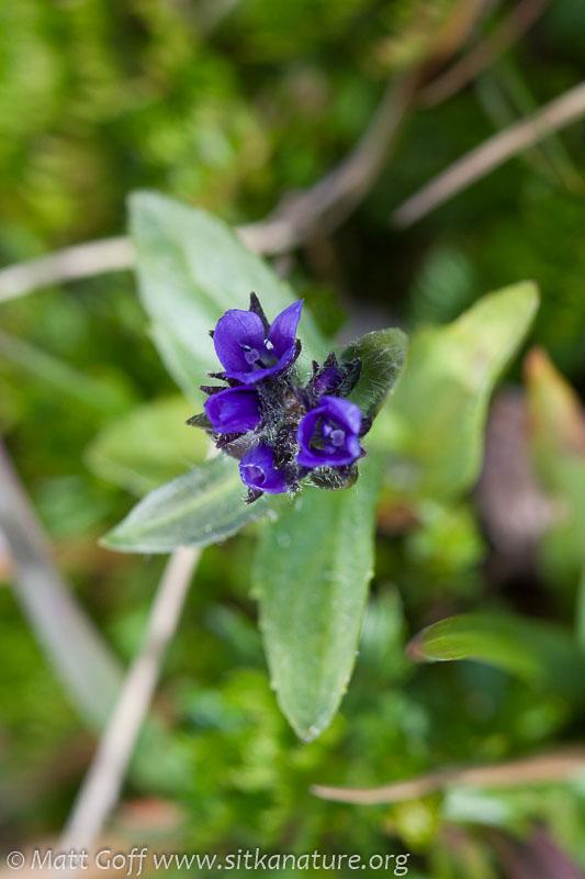 Alpine Speedwell (Veronica wormskjoldii)