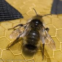 Fernald's Cuckoo Bumble Bee (Bombus fernaldae)