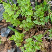 Alaska Parsley Fern (Cryptogramma sitchensis)