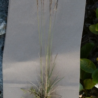 Grass (Festuca sp)