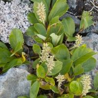 Willow (Salix sp)