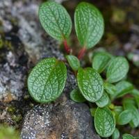 Netleaf Willow (Salix reticulata)