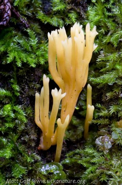 20080913-clavariaceae-2.jpg