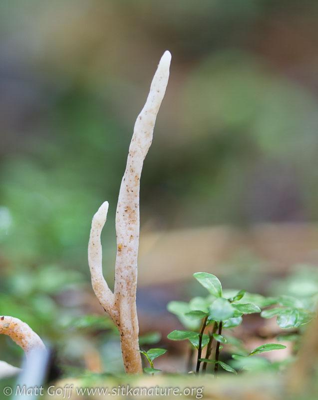 Club fungus