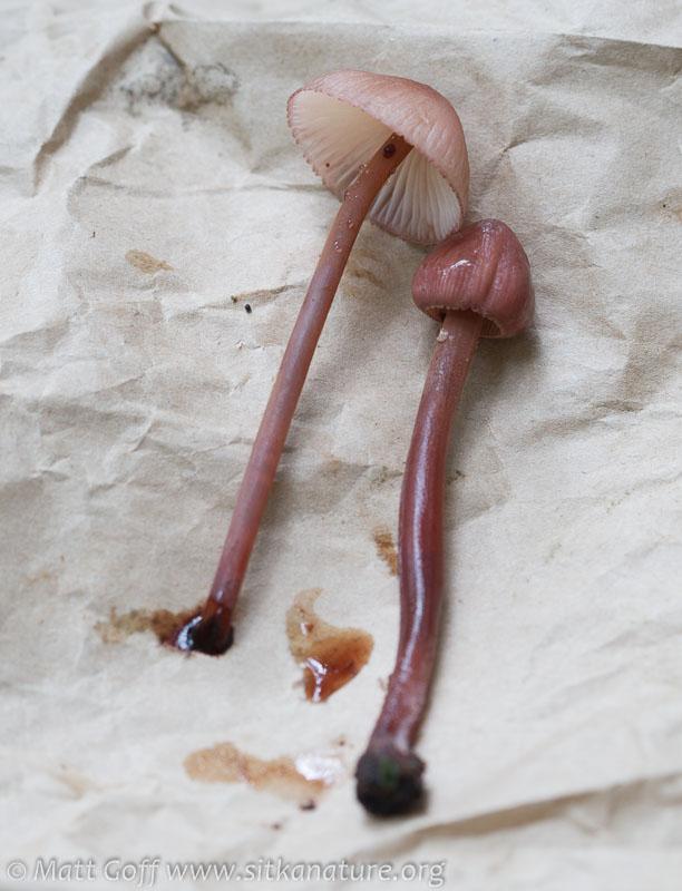Bleeding Mycena (Mycena haematopus)
