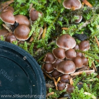 Brown Cortinarius