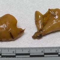 Ear Mushroom (Otidea sp)