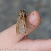 Yelllow Underwing Moth