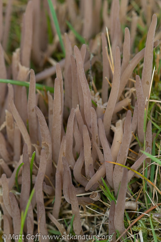 Purple Fairy Club (Clavaria purpurea)