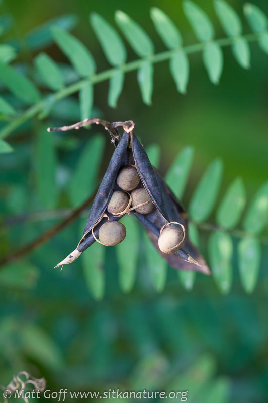 Giant Vetch (Vicia nigricans) Seedpods