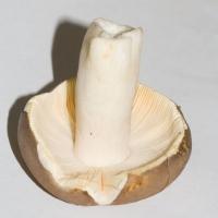 Russula sp.