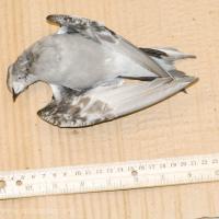 Fork-tailed Storm-Petrel Specimen