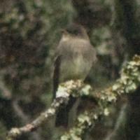Western Wood-Pewee (Contopus sordidulus)