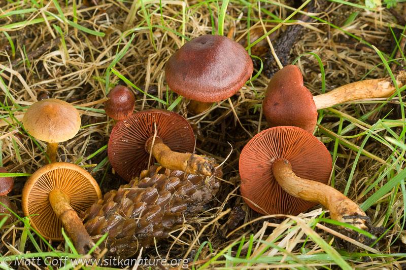 Cortinarius spp