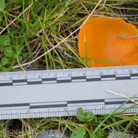 Orange Peel Fungus (Aleuria aurantica)
