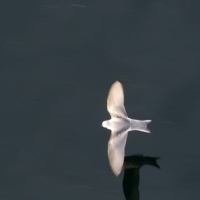 20081004-fork-tailed_storm-petrel-1.jpg