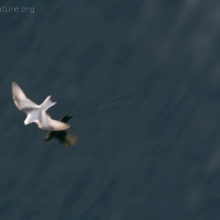 20081004-fork-tailed_storm-petrel-2.jpg