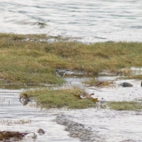 Plovers (Pluvialis spp)