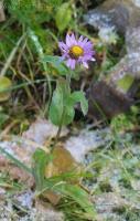 Late Sub-alpine Daisy (Erigeron peregrinus)