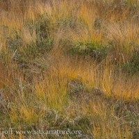 Fall Colors in Tufted Bulrush