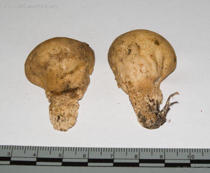 Lycoperdon sp.