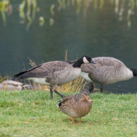 Cackling Geese  (Branta hutchinsii)