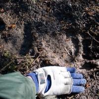 Brown Bear Tracks