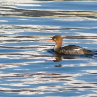 20081030-red-breasted_merganser.jpg