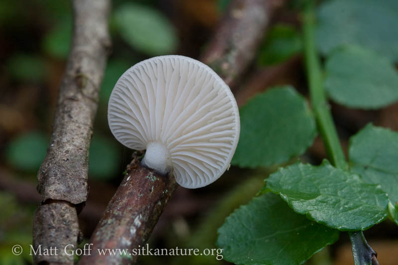 Small White Mushroom