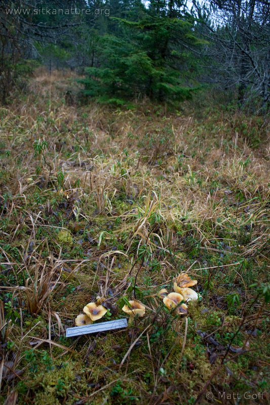 Herald of Winter (Hygrophorus hypothejus) Habitat