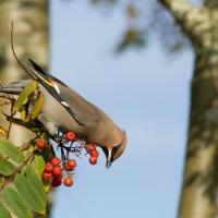 Bohemian Waxwings  (Bombycilla garrulus)