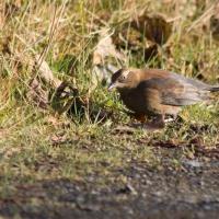 Rusty Blackbird (Euphagus carolinus)